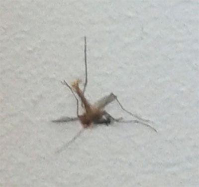 moustique-2